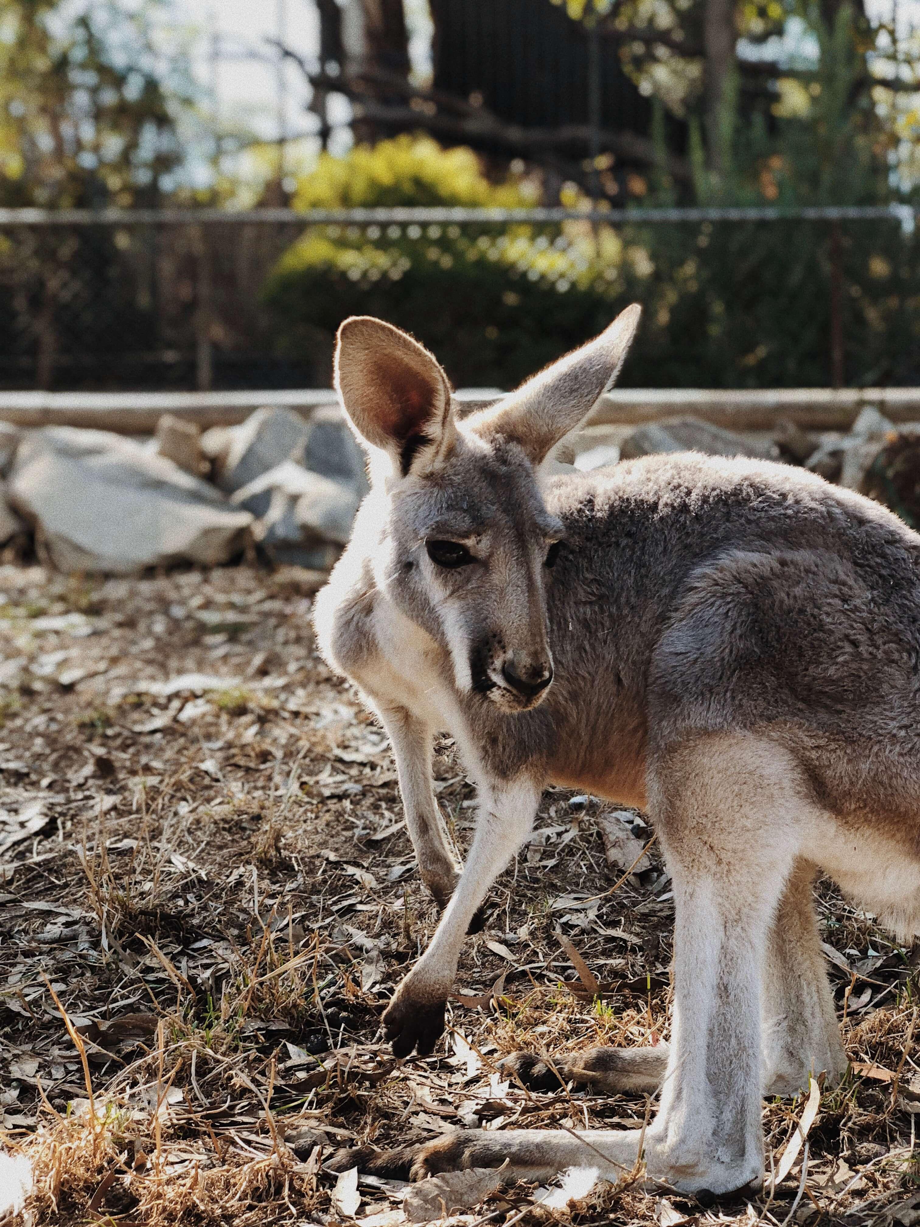 Szukając kangurów