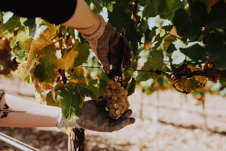 Zbiory winogron w regionie La Rioja w Hiszpanii